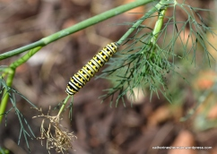 Here is a Black Swallowtail Butterfly caterpillar feeding on a dill plant. The day after I photographed this caterpillar on the dill, it disappeared. I thought it had either died or crawled away to pupate. Then, I found it (I think) crawling in the middle of my lawn, far from any twig to attach itself to. I gave it a lift on a stick to one of my fennel plants in case it needed a little more food. The next day I saw it had attached itself to a twig and the day after that it was a chrysalis.