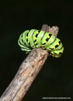 I'm giving a Black Swallowtail Butterfly Caterpillar a ride on a stick.  I found him in the grass in my lawn far from anywhere to pupate.  Although BST caterpillars can travel a long way, I was afraid he'd be stepped on.