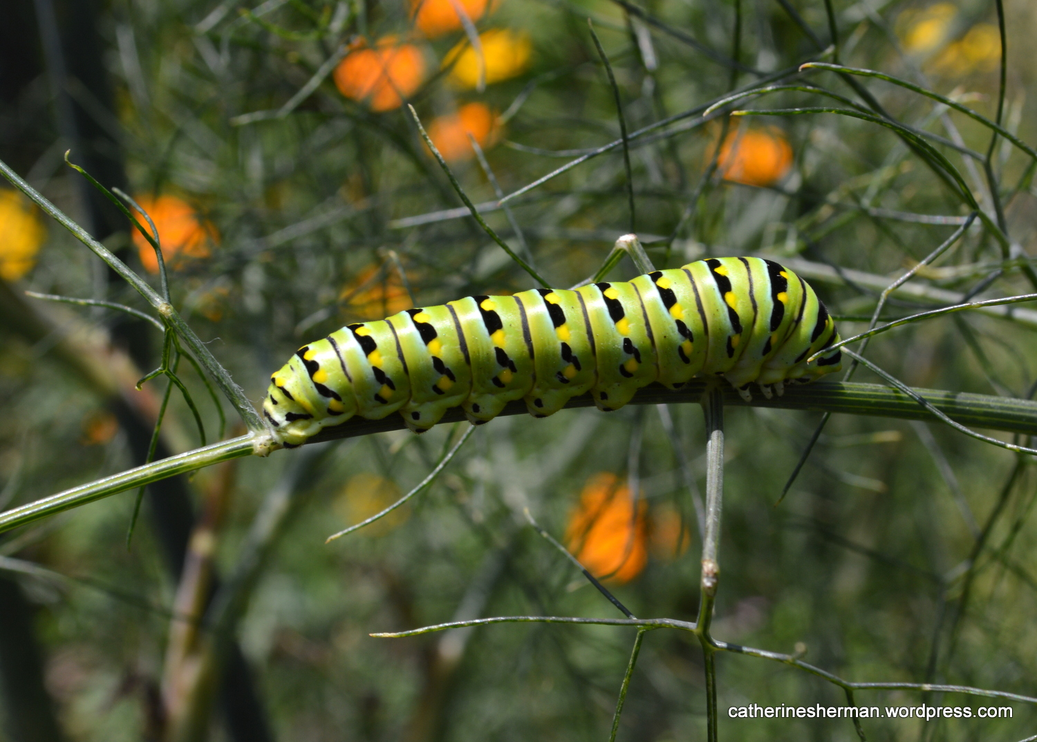 A Black Swallowtail Butterfly Caterpillar Rests After A Day Of Eating  Fennel. Itu0027s Amazing That