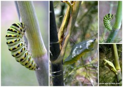 I found this Black Swallowtail Butterfly caterpillar crawling in the middle of my lawn and gave it a ride to this fennel plant, where it attached itself with a sling to a fennel stalk. Some time during the night it shrugged off its skin and became a chrysalis.