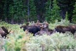 Herd of moose graze near Brainard Lake in Colorado.