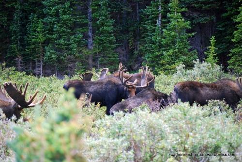 Herd of moose graze near Brainard Lake in Colorado.
