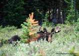 This moose stared back when I was taking its photo in Colorado.