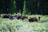 Moose Herd in Colorado