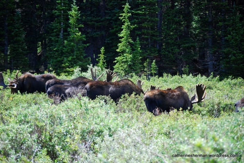 A herd of moose line up to graze in a marshy area at Brainard Lake Recreation Area in Colorado.
