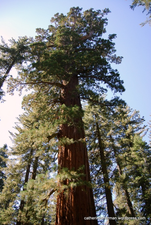 A giant sequoia towers above visitors to Tuolumne Grove in Yosemite National Park. Tuolumne is one of three named sequoia groves in Yosemite.