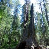 This giant sequoia in Tuolumne Grove in Yosemite National Park suffered the double indignity of being cut through, which weakened it, and then enduring a fire.