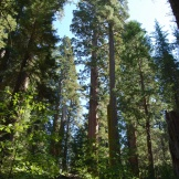 Giant Sequoias in Tuolumne Grove in Yosemite National Park.