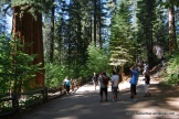 Everyone looks small when photographed next to a giant Sequoia. Here are tourists in Tuolumne Grove in Yosemite National Park.