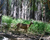 Deer in Tuolumne Grove.