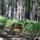 Deer in Tuolumne Grove.