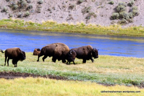Bison race along the Yellowstone River in the Hayden valley of Yellowstone National Park .