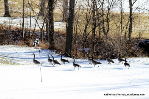This golf gallery is a gaggle of geese gawking on a golf green (now white with snow.)