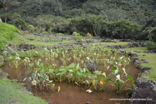 The rock walls surrounding the taro fields are estimated to be about 700 years old in the Limahuli Tropical Botanical Garden in north Kauai west of Hanalei. The rock walls were part of an irrigation system that diverted some water from the Limahuli River to grow taro.