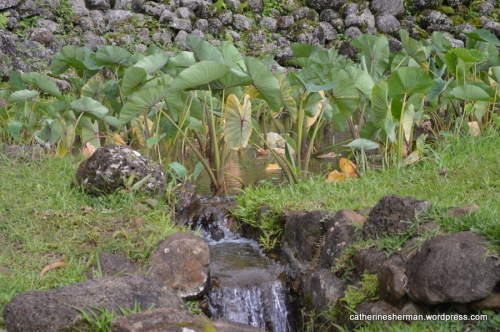Water flows from a taro field in Limahuli Garden in northern Kauai. The rock walls you can see in the background are part of an important archeological site and are about 700 years old.