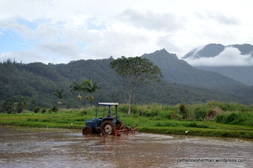 A tractor prepares a taro field in the Hanalei River Valley.