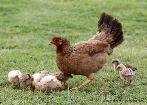 Mother hens and their chicks were everywhere on Kauai.