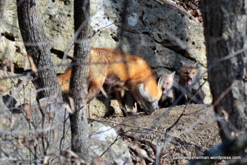 A mother fox returning to her den is greeted by her hungry kits.