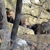 "The fox kits wonder where their mother went when she leaves the den for a few minutes on her ""break."""