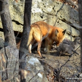 A mother fox nudges one of her kits back to the den.