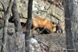 Her short break over, the mother fox returns to the den.