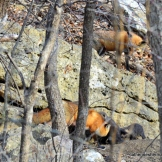 Another fox adult, possibly the father, joins the family get-together.