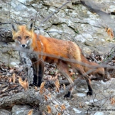 Evening is falling, the fox kits are fed and put to bed in the den, and now the mother heads to a higher rock to rest.