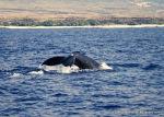 Humpack whale, Kona, Hawaii.