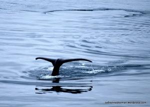 Humpback whale, Glacier Bay, Alaska.
