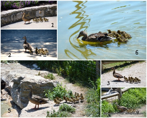A mother duck leads her ducklings through Deanna Rose Children's  Farmstead to a pond.