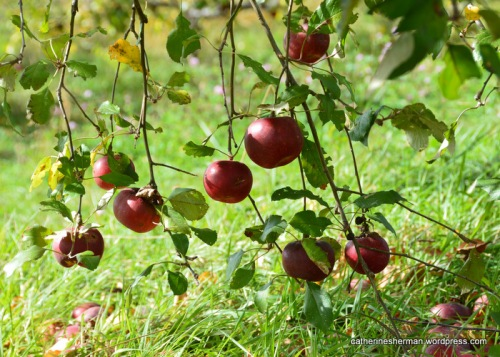 Ripe Red apples are ready to be picked.