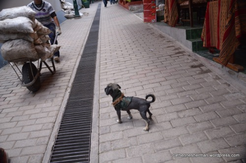 A hairless chihuahua in a camouflage jacket watches a man with a wheelbarrow on a street in Aguas Calientes, Peru, the town at the foot of Machu Picchu. There are no roads to Aguas Calientes, so most goods come in by train and are wheeled around.