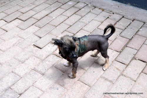 A hairless chihuahua sports a camouflage jacket on a street in Aguas Calientes, the town at the foot of Machu Picchu.