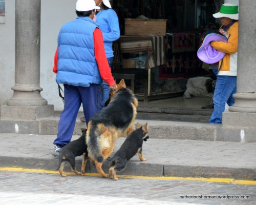 A man has a German Shepherd on a  leash while the puppies obediently follow across a street in Cusco, Peru.  You can see another dog lounging inside the shop just beyond.