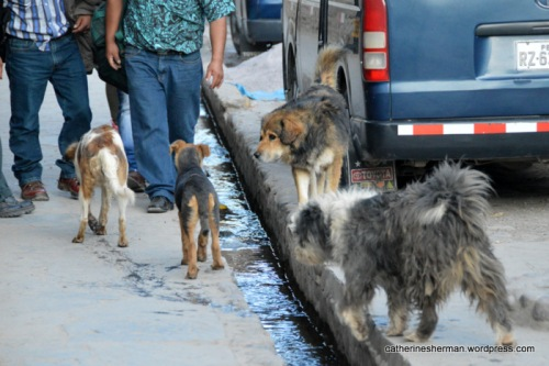 Dogs meet up on a street in Ollantaytambo in the Sacred Valley of Peru.