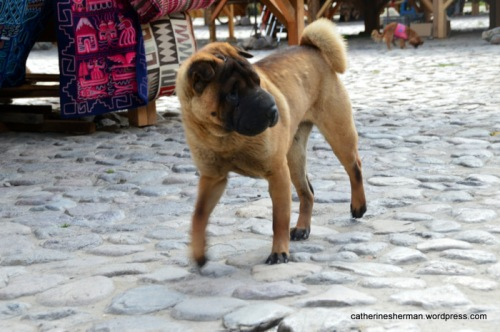 "This friendly Shar Pei dog patrols his corner of a market in Ollantaytambo, Peru.  The Shar Pei, which originated in China, is considered one of the most rare dog breeds.  Its name derives from the Cantonese words ""sand skin"" and refers to the texture of its short, rough coat.  As puppies, Shar Pei have numerous wrinkles, but as they mature, these wrinkles loosen and spread out as they ""grow into their skin"". Shar Pei were named in 1978 as one of the world's rarest dog breeds by TIME magazine and the Guinness World Records. The American Kennel Club did not recognize the breed until 1991."