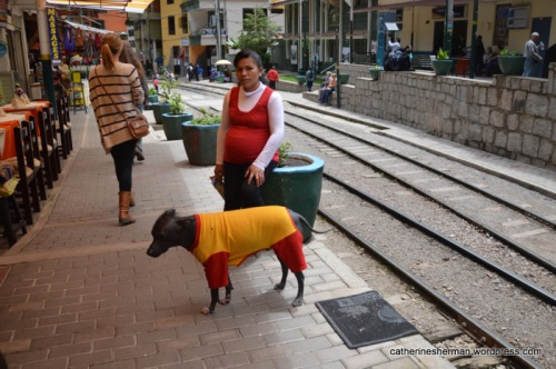 A Peruvian Hairless dog, the national dog of Peru, wears a shirt to protect his bare skin.  He stands on a walkway along the railroad tracks in Aguas Calientes, the town at the foot of Machu Picchu.