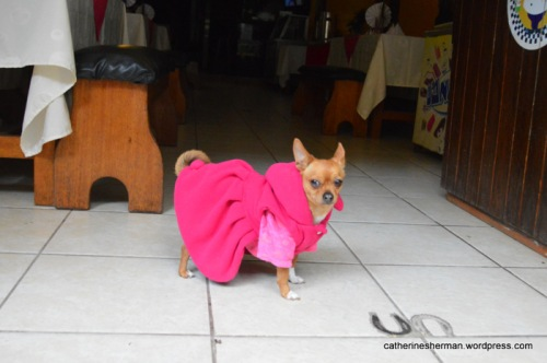 A chihuahua shows off her fabulous dress as she stands in the doorway of a restaurant in Aguas Calientes, the town at the foot of Machu Picchu.  Isn't she a cute little diva?