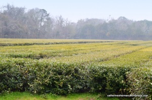 Experimental tea plants at Charleston Tea Plantation in South Carolina.