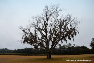 Spanish moss drapes a dormant pecan tree awaiting Spring at the Charleston Tea Plantation in South Carolina.