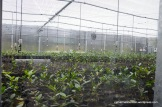 Automatic sprinklers keep tea plant cuttings moist in a state-of-the-art greenhouse at the Charleston Tea Plantation.