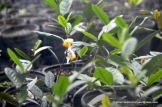 Tea plants are members of the Camellia family and produce lovely white flowers.