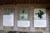 These charts show how the tea plant cuttings are propagated.