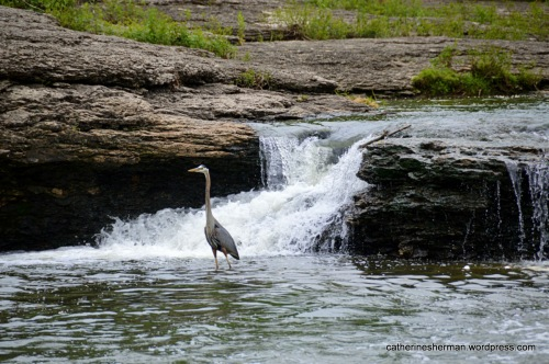 A Great Blue Heron watches for fish at the base of a waterfall at the Watts Mill Historic Site in Kansas City, Missouri.