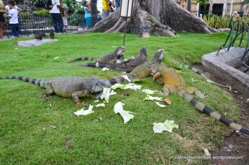 Iguanas live in Simon Bolivar Park, Guayaquil, Ecuador, where they are fed every day by the park staff. Here, they enjoy some lettuce.