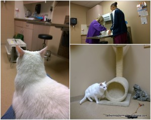 Paddington was a very brave kitty at the vet in September 2015. On the left he waits on my lap, in the upper right he patiently endures shots and prodding. In the lower right, he explored the room. So many wonderful toys!