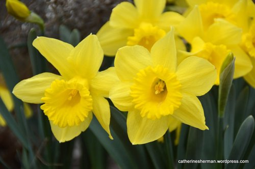 Daffodils, blooming early in my neighborhood this year (February 2016) . Always a cheerful sight.