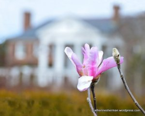 Magnolia blooming at Boone Hall Plantation, Mount Pleasant, South Carolina.