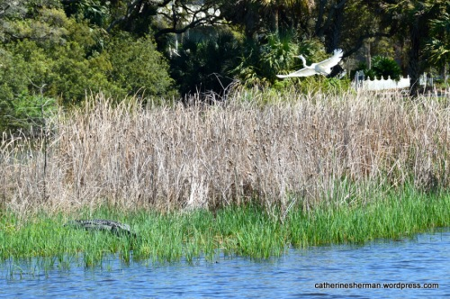 On the left a large alligator rests (or lies in wait) along a Kiawah Island pond while an egret flies overhead. A large alligator had staked out this territory when we visited a year earlier. I'm assuming it's the same one.