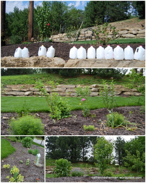 Here is a collage of photos from the founding days of the neighborhood butterfly garden. The top photo is from 2012, a hot summer in which I had to bring gallons of water from my house to water the new plants, because the sprinkler system didn't provide enough water. The bottom three photos are from 2013.